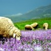 Koyun Süt ve Besi Yemleri